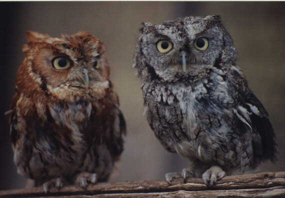 Two Wise Old Owls - Copyright Ron Wulff Jr.
