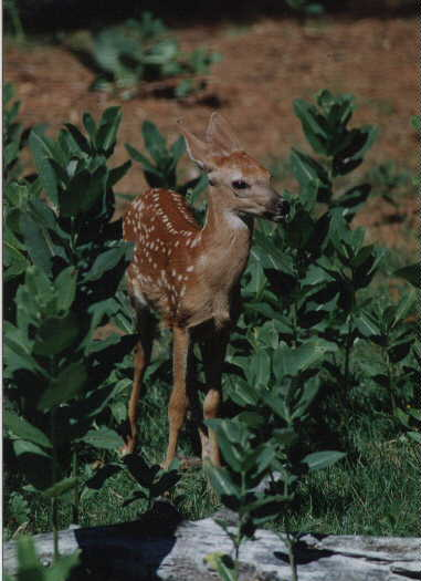 White Tailed Deer ( Fawn) - Copyright Ron Wulff Jr.