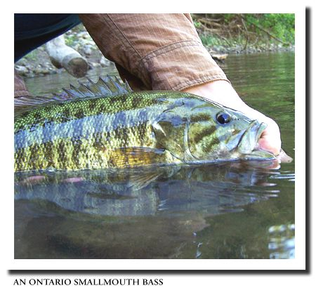 Fly fishing smallmouth bass smallmouth bass fishing tips for Smallmouth bass fly fishing